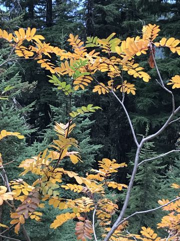 Mountain ash in autumn clothing