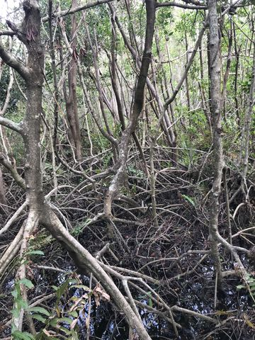 Mangrove is the dominant tree