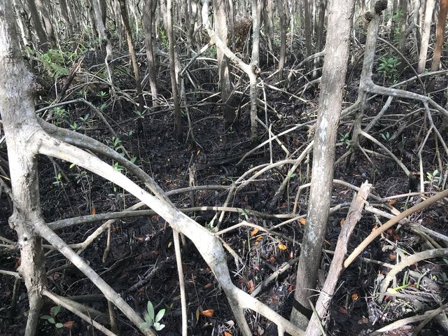 More mangroves. The roots are submerged at high tide