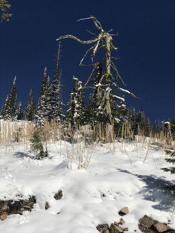 A snag and dead beargrass stalks