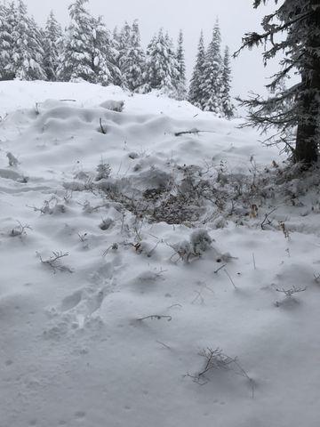 Elk or moose bed near the saddle