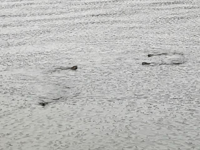 A family of otters frolicking in the lake