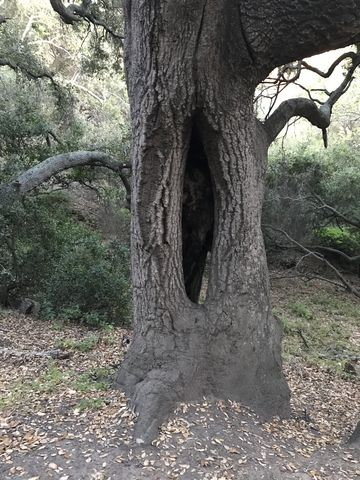A hollow tree along Serrano Cow Trail