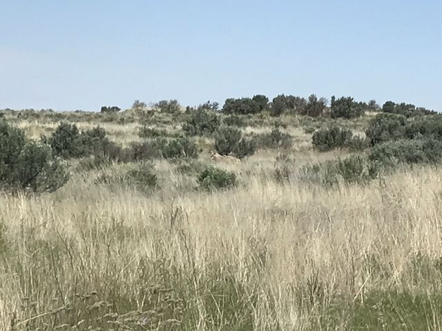 Coyote (in the center of the photo)