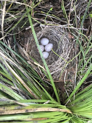 Eggs of a ground-nesting bird