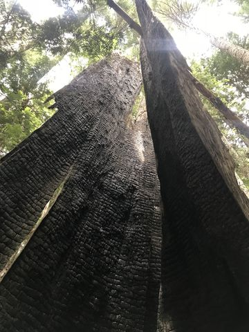 A giant cedar, hollow and burnt. Easily 12 feet in diameter at the base