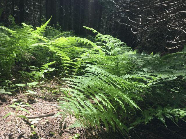 Ferns on trail 261