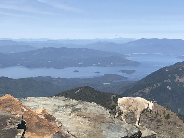 A pesky mountain goat and Lake Pend Oreille in the background