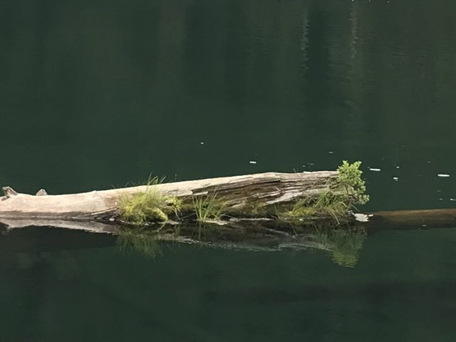 A moss-overgrown log floating in Crystal Lake