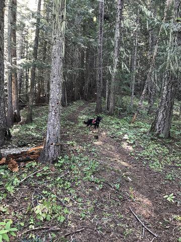 The Larkins Creek trail climbs steeply beneath a dark canopy of fir and cedar