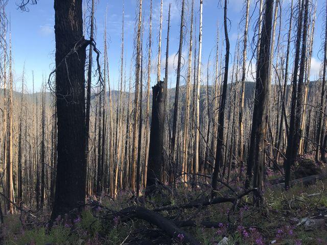 A burned area near Collins Peak (Surveyors Ridge in the background)