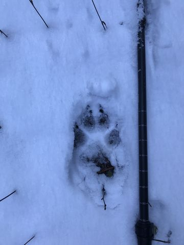 That would be a wolf print